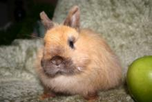 male rabbit for adoption
