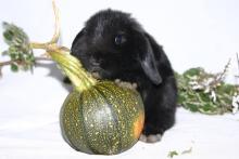 Holland Lop baby bunny