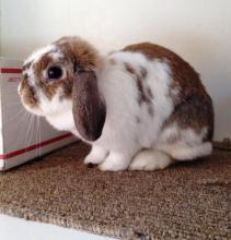 holland lop adoptable bunny rabbit