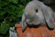 male holland lop blue torte