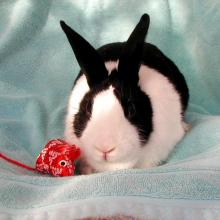 Petra dutch black and white bunny rabbit