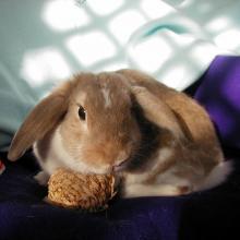 lop bunny rabbit