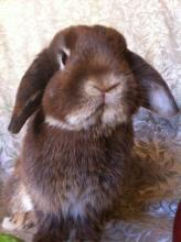 holland lop male bunny rabbit
