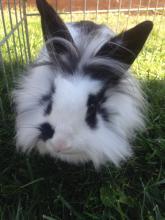 rescue rabbit adopt bunny lionhead