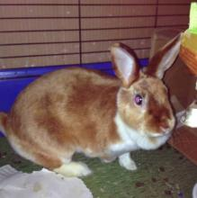 Female Amber colored rabbit