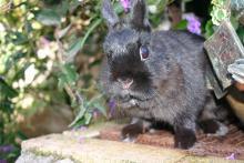 netherland dwarf spayed female bunny rabbit