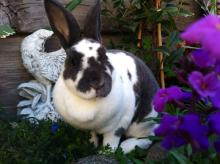 rex female bunny rabbit