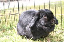 black female holland lop spayed