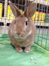 rescue bunny rabbit dwarf