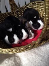 baby bunny rabbit dutch breed