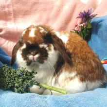 holland lop bunny rabbit