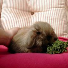 Torte Fuzzy Holland Lop bunny rabbit