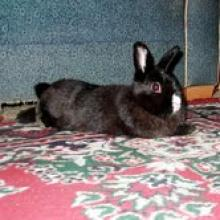 bunny rabbit adoptable