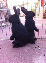 bunny rabbit male