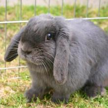 blue holland lop female spayed
